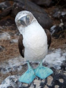 blue-footed-booby-262x350
